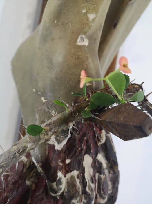 coroana de spini