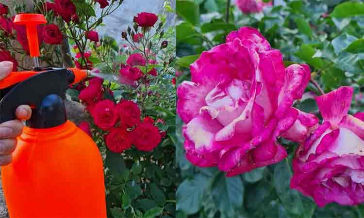 Cea-mai-frecventa-boala-a-trandafirilor-si-modalitati-de-combatere-a-acesteia