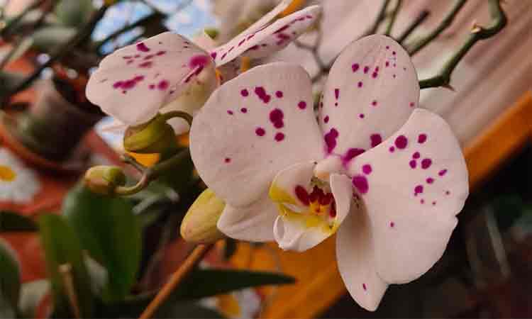 Cum-se-ingrijeste-corect-orhideea-pentru-a-avea-flori-din-abundenta