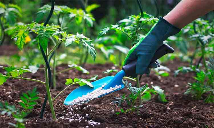 Fertilizarea-rosiilor-in-sol-deschis.-Tipuri-de-ingrasaminte-si-moduri-de-aplicare