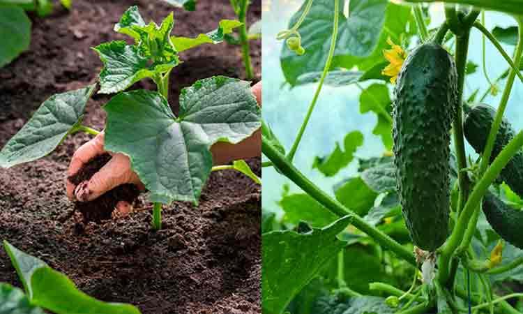 Sfaturi-de-la-gradinari-Cum-se-fertilizeaza-corect-castravetii