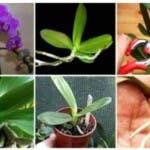 3 metode simple prin care se inmultesc orhideele