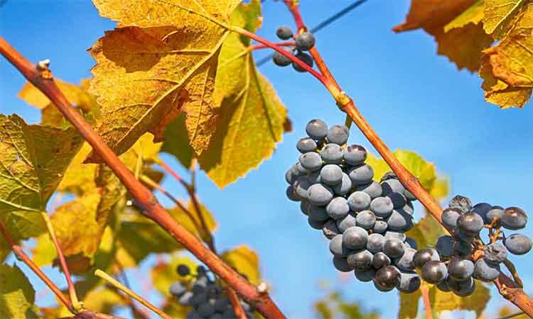 Producatorii de vinuri se confrunta cu realitatea schimbarilor climatice