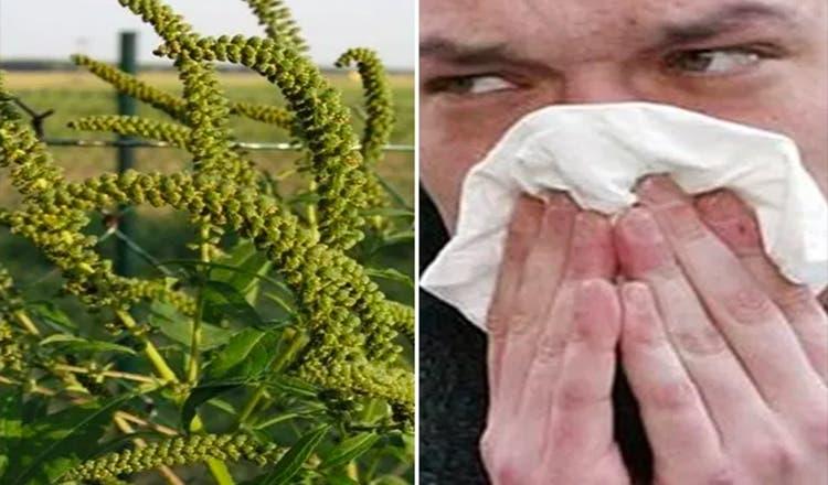 Ce sa faci ca sa scapi de alergia la ambrozie. Sunt sfaturi de aur