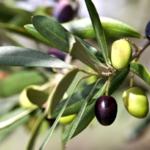 Extractul din frunze de maslin – beneficiile acestuia asupra sanatatii
