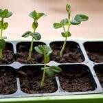 7 moduri de a planta seminte pentru rasaduri
