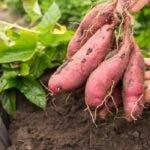Cum se cultiva cartofii dulci