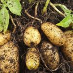 Nu ai nevoie de o gradina pentru a creste cartofi, ci doar de o galeata