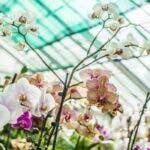 Cum se aplica in mod corespunzator acidul succinic pentru orhidee