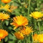 Cum se cultiva florile  de galbenele