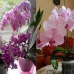 Iata cum poti sa provoci o noua inflorire la orhidee. 6 reguli de aur pentru flori superbe