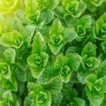 6 alternative la frunzele de menta
