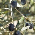 9 beneficii pentru sanatate ale frunzelor de maslin