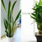 9 plante pentru a aduce noroc, energie pozitiva si prosperitate in casa ta
